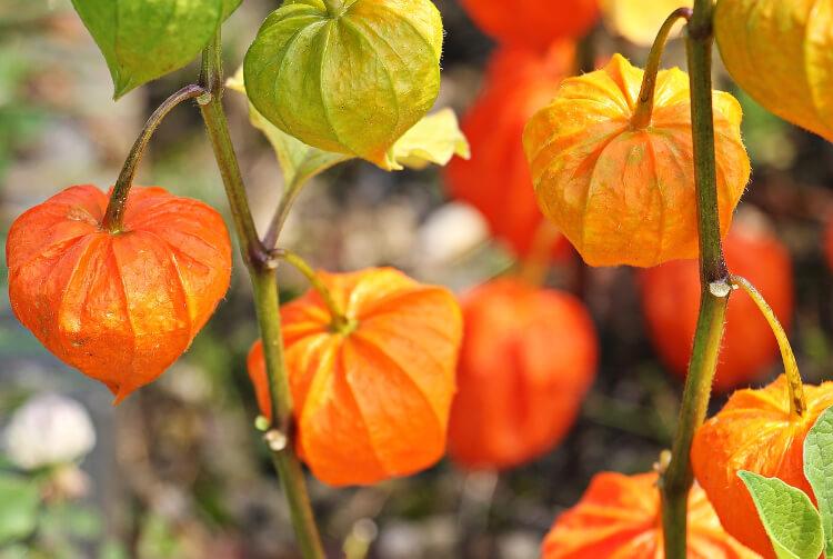 Legszebb őszi díszt adó növényeink II.
